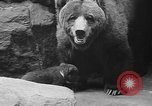 Image of triplet bear cubs Washington DC USA, 1936, second 39 stock footage video 65675053232