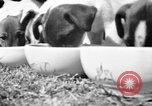 Image of English Fox Terrier pups Fort McPherson Georgia USA, 1940, second 15 stock footage video 65675053251
