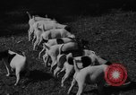 Image of English Fox Terrier pups Fort McPherson Georgia USA, 1940, second 24 stock footage video 65675053251