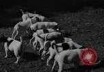 Image of English Fox Terrier pups Fort McPherson Georgia USA, 1940, second 25 stock footage video 65675053251