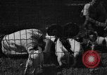 Image of English Fox Terrier pups Fort McPherson Georgia USA, 1940, second 33 stock footage video 65675053251