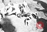 Image of English Fox Terrier pups Fort McPherson Georgia USA, 1940, second 35 stock footage video 65675053251