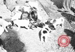Image of English Fox Terrier pups Fort McPherson Georgia USA, 1940, second 36 stock footage video 65675053251