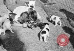 Image of English Fox Terrier pups Fort McPherson Georgia USA, 1940, second 37 stock footage video 65675053251
