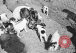 Image of English Fox Terrier pups Fort McPherson Georgia USA, 1940, second 39 stock footage video 65675053251
