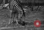 Image of Bronx Zoo New York City USA, 1941, second 33 stock footage video 65675053566