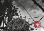 Image of attaching message to carrier pigeon United States USA, 1920, second 51 stock footage video 65675060947