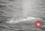 Image of Grey Whale California United States USA, 1966, second 38 stock footage video 65675061790