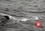 Image of Grey Whale California United States USA, 1966, second 43 stock footage video 65675061790