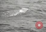 Image of Grey Whale California United States USA, 1966, second 51 stock footage video 65675061790