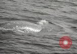 Image of Grey Whale California United States USA, 1966, second 53 stock footage video 65675061790