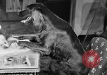 Image of beauty treatments for dogs Portland Oregon USA, 1931, second 30 stock footage video 65675070930