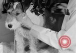 Image of beauty treatments for dogs Portland Oregon USA, 1931, second 50 stock footage video 65675070930