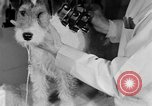 Image of beauty treatments for dogs Portland Oregon USA, 1931, second 52 stock footage video 65675070930