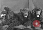 Image of Golden Gate Kennel Club dog show San Francisco California USA, 1932, second 51 stock footage video 65675070937