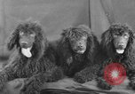 Image of Golden Gate Kennel Club dog show San Francisco California USA, 1932, second 52 stock footage video 65675070937