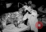 Image of Westminster Kennel Club dog show New York United States USA, 1965, second 14 stock footage video 65675070999