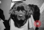 Image of Westminster Kennel Club dog show New York United States USA, 1965, second 26 stock footage video 65675070999