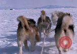 Image of dog team Antarctica, 1964, second 31 stock footage video 65675071420