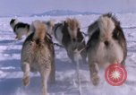 Image of dog team Antarctica, 1964, second 38 stock footage video 65675071420