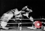Image of Boxing cats West Orange New Jersey USA, 1894, second 12 stock footage video 65675071490