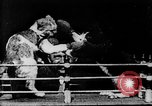 Image of Boxing cats West Orange New Jersey USA, 1894, second 19 stock footage video 65675071490