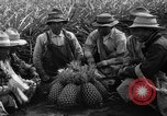 Image of pineapples Hawaii USA, 1916, second 4 stock footage video 65675071573