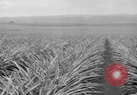 Image of pineapples Hawaii USA, 1916, second 46 stock footage video 65675071573