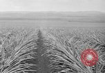 Image of pineapples Hawaii USA, 1916, second 50 stock footage video 65675071573