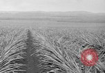 Image of pineapples Hawaii USA, 1916, second 51 stock footage video 65675071573