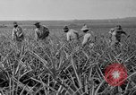 Image of pineapples Hawaii USA, 1916, second 55 stock footage video 65675071573