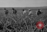 Image of pineapples Hawaii USA, 1916, second 56 stock footage video 65675071573