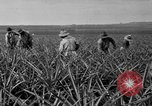 Image of pineapples Hawaii USA, 1916, second 61 stock footage video 65675071573