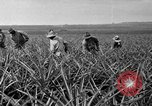 Image of pineapples Hawaii USA, 1916, second 62 stock footage video 65675071573