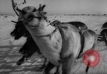 Image of reindeer race Russia, 1962, second 39 stock footage video 65675071769