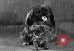 Image of Pacific Coast Kennel Club show Oakland California USA, 1933, second 25 stock footage video 65675072242