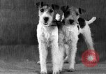 Image of Pacific Coast Kennel Club show Oakland California USA, 1933, second 27 stock footage video 65675072242