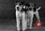 Image of Pacific Coast Kennel Club show Oakland California USA, 1933, second 28 stock footage video 65675072242