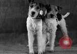 Image of Pacific Coast Kennel Club show Oakland California USA, 1933, second 29 stock footage video 65675072242