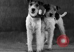 Image of Pacific Coast Kennel Club show Oakland California USA, 1933, second 30 stock footage video 65675072242