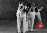 Image of Pacific Coast Kennel Club show Oakland California USA, 1933, second 31 stock footage video 65675072242
