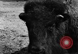 Image of cattle ranch United States USA, 1922, second 32 stock footage video 65675072780