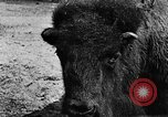 Image of cattle ranch United States USA, 1922, second 34 stock footage video 65675072780