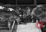 Image of cattle ranch United States USA, 1922, second 18 stock footage video 65675072781