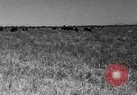 Image of cattle ranch United States USA, 1922, second 45 stock footage video 65675072784