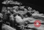 Image of shipment of livestock United States USA, 1945, second 20 stock footage video 65675073173