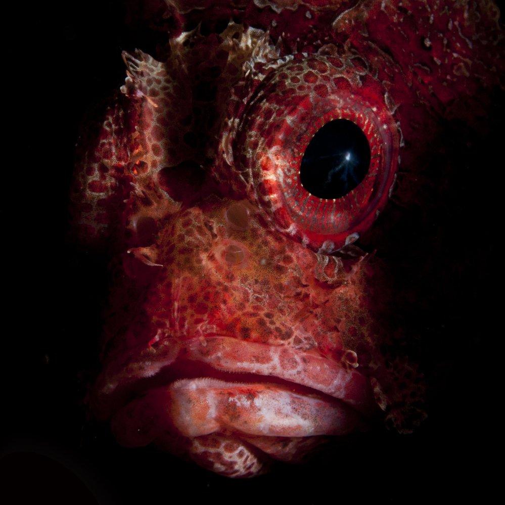 Scorpion fish potrait