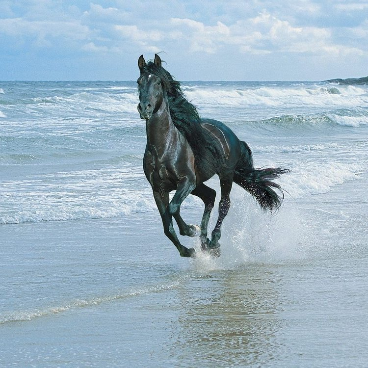 Running with the wind black andalusian