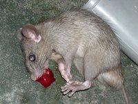 1423065279 dead rat blood