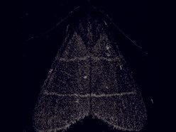 Image for Wax Moth